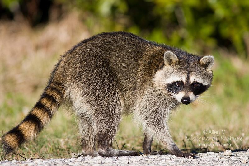 Light Brown Raccoon
